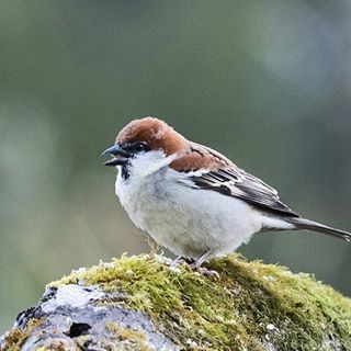 It's Not Just Humans. Sparrows Have Been Seen Using Preventative Medicine