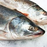 GM fish food deal brings sustainable salmon a step closer to commercialization - Alliance for Science