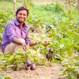 GM eggplant helps farmers reduce pesticide use and increase profits, study finds - Alliance for Science