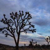 Joshua trees may warrant listing as a threatened species, scientists say