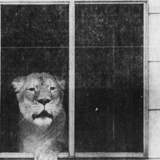 Forget 'Tiger King.' A lion once lived in Richardson Park. Seriously.