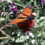California's Monarch Butterflies May Be In Extinction Spiral