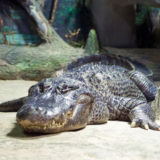 'Adolf Hitler's alligator' Saturn preserved forever after dying aged 84