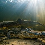 Alligators can regrow severed tails, surprising scientists