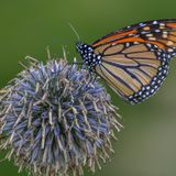 Why Monarch Butterflies Aren't Getting Endangered Species Status