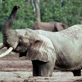Ivory from a 16th century shipwreck reveals new details about African elephants