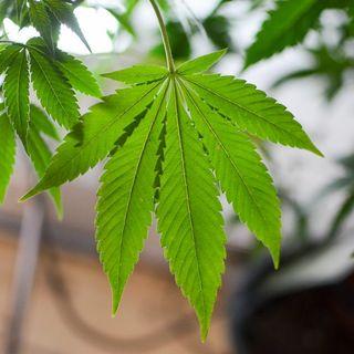 Marijuana Legalization Left Out Of New York Budget, According To Draft Summary Document