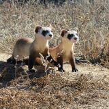 At Risk of Extinction, Black-Footed Ferrets Get Experimental COVID Vaccine