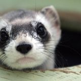 Black-footed ferrets are getting their own Covid-19 vaccine