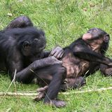 Bonobos, much like humans, show commitment to completing a joint task