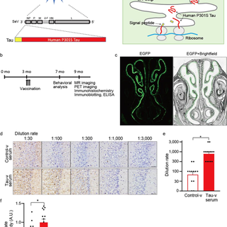 Nasal vaccine delivery attenuates brain pathology and cognitive impairment in tauopathy model mice