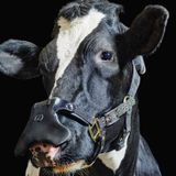 This burp-catching mask for cows could slow down climate change