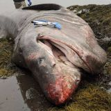 26-foot basking shark washes up on shore in Bremen Tuesday