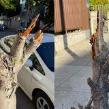 'Total violent assault': Vandal hacks down historic cherry blossom trees in San Francisco's Japantown
