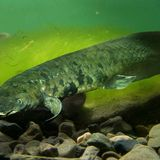 Australian lungfish has largest genome of any animal sequenced so far