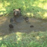 Study: Overheated grizzly bears, particularly pregnant ones, love a cold bath