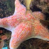 Some bacteria are suffocating sea stars, turning the animals to goo
