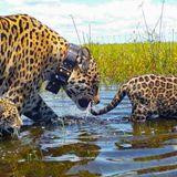 Big cat comeback: Jaguars prowl Argentina's Iberá Wetlands after 70 years