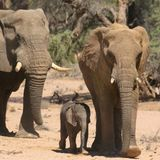 Ivory by any other name: Illegal trade thrives on eBay, study finds