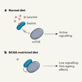 Anti-ageing effects of protein restriction unpacked