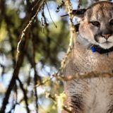 Washington wildlife commissioners approve limited hound training program