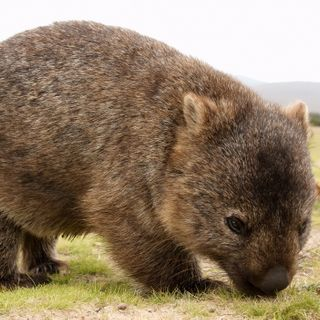'Hero' wombats are saving other animals from drought by digging craters
