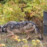 Wolf that left Michigan's Isle Royale has had amazing 2-year journey, GPS data shows