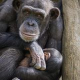 Russian zoo puts on cartoons to cheer up chimps during lonely lockdown