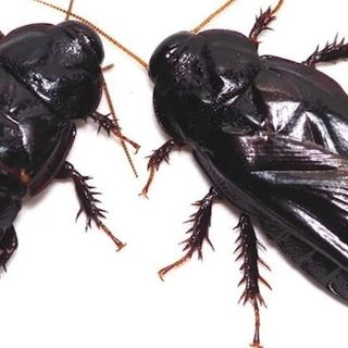 These Cockroaches Start Eating Each Other After Sex, And Not Because They're Hungry