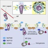 Cone-shaped HIV-1 capsids are transported through intact nuclear pores