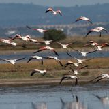 Lead shot poisoning flamingos in Greece: wildlife group - France 24