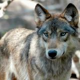 Idaho wolf population remains stable, despite more hunting, trapping