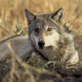 Hunters Killed 82% More Wolves Than Quota Allowed in Wisconsin