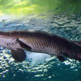 Amazon 'river monster' turns up dead in Florida