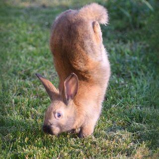 A gene defect may make rabbits do handstands instead of hop
