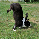 Thanks to a Genetic Mutation, These French Rabbits Prefer Handstands to Bunny Hops
