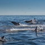 Video shows 1,000-dolphin 'stampede' off California coast