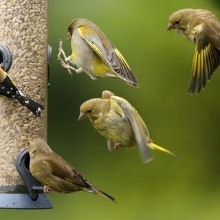 Salmonella outbreak across U.S. linked to songbirds, feeders