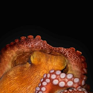 Octopus research yields insight into the evolution of sleep