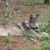 Lone wolf's epic Calif. journey has taken yet another turn