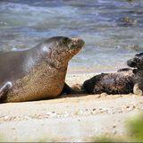 Popular Hawaiian monk seal, Honey Girl, found dead on windward Oahu beach