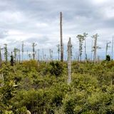Rising sea levels are creating 'ghost forests' of coastal trees