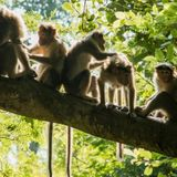 Controversial Monkey Discovery Suggests Origins of Human Language Existed 25 Million Years Ago