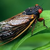 Millions of cicadas set to emerge in Ohio and beyond after 17 years