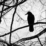 Gang Of Ravens Accused Of Stealing Food In Alaska