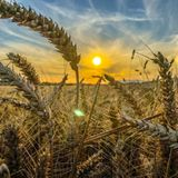 Crops Steal Genes from Other Grasses to Adapt Better and Evolve Faster