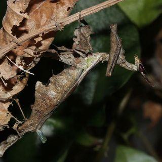 This praying mantis inflates a strange pheromone gland to lure mates