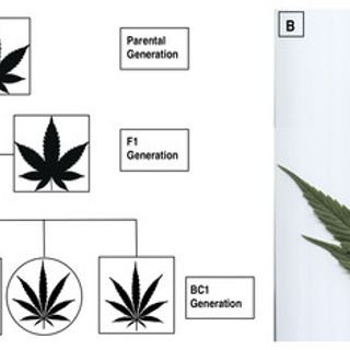 Widely assumed phenotypic associations in Cannabis sativa lack a shared genetic basis