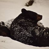 Why don't hibernating bears get osteoporosis?