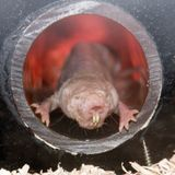 Naked mole-rats need carbon dioxide to avoid seizures and here's why
